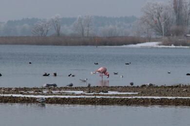 Flamingo2_Ausschnitt_klein