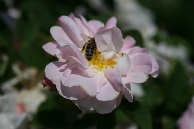Rose mit Biene klein