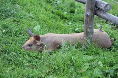 Schwein schlaeft